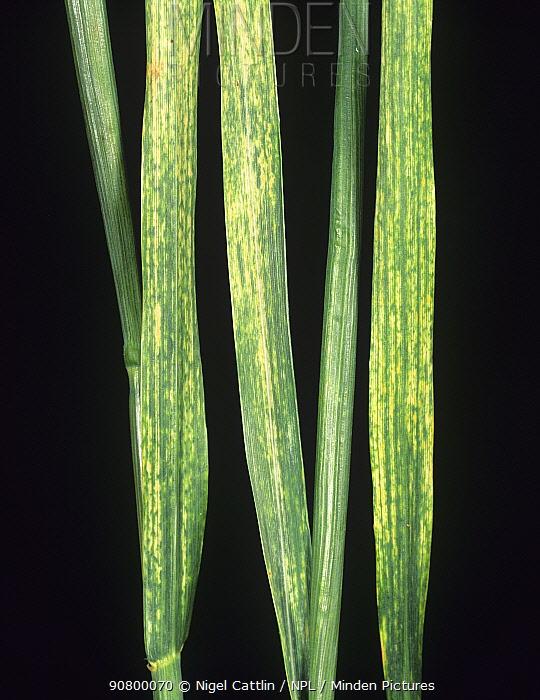 Wheat leaves (Triticum sp) with Wheat Streak Mosaic Virus (WSMV). Montana, USA.