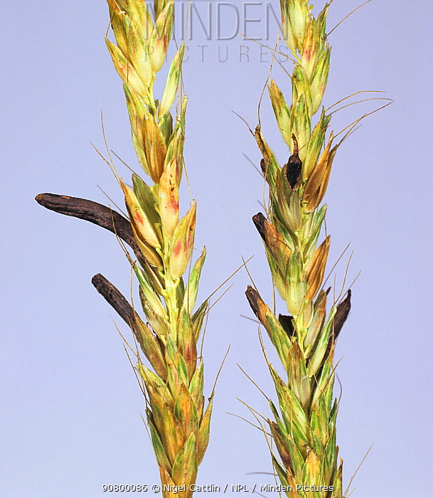 Ergot (Claviceps purpurea) on seeds in a Timothy Grass (Phleum sp) seedhead.