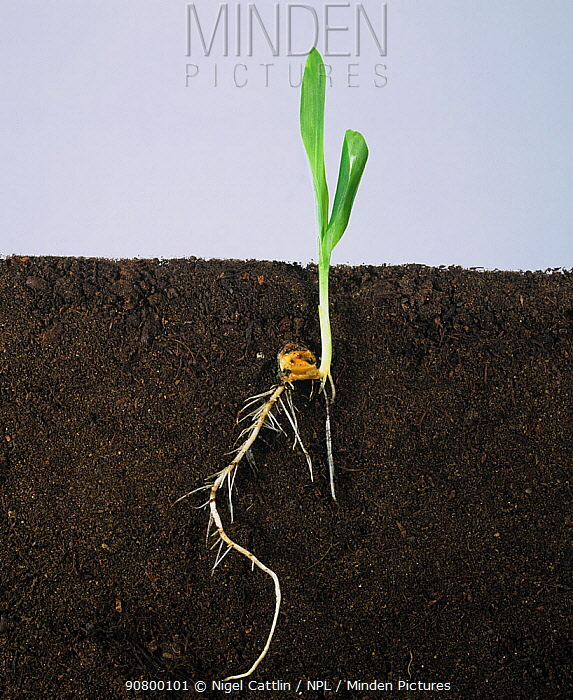 Maize / corn (Zea mays) seedling with two leaves and roots, growth stage 12.