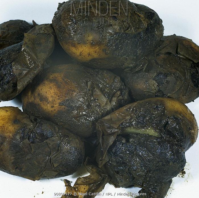 Watery Wound Rot (Pythium ultimum) of Potato tubers (Solanum tuberosum).