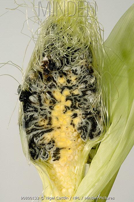 Whole Maize / Corn (Zea mays) sectioned cob showing Black Smut (Ustilago maidis). England, UK.