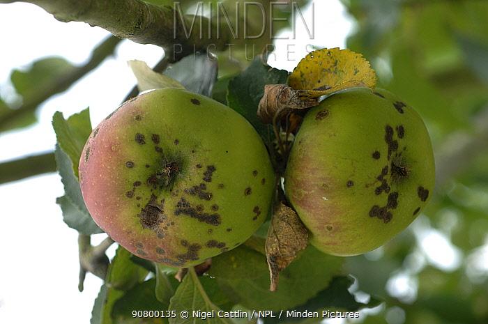 Apple Scab (Venturia inaequalis) infection on Bramley cooking Apples (Malus communis). England, UK.