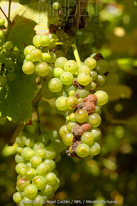 Grey Mould / Noble Rot (Botrytis cinerea) infection on Grapes (Vitis vinifera). England, UK.