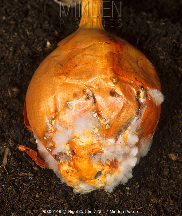 White Rot Mould (Sclerotium cepivorum) on an Onion bulb (Allium cepa).