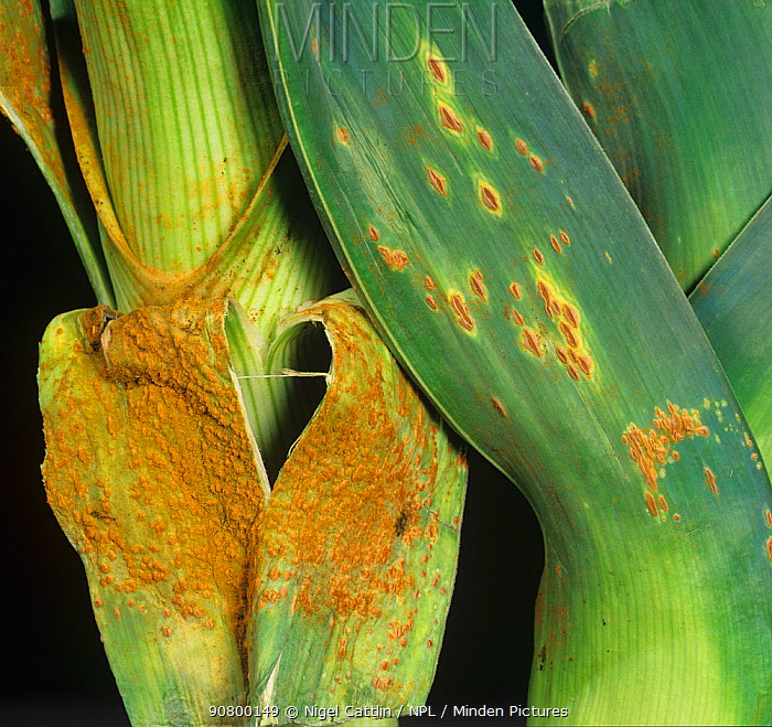 Severe Leek Rust (Puccinia porri) on Leek leaves (Allium ampeloprasum var. porrum).