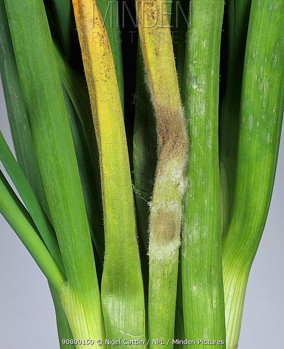 Downy Mildew (Peronospora destructor) on the leaves of Onions (Allium cepa).