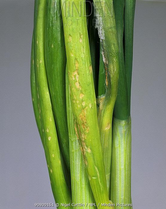 Onion Leaf Rot (Sclerotinia squamosa) on Onion leaves (Allium cepa).