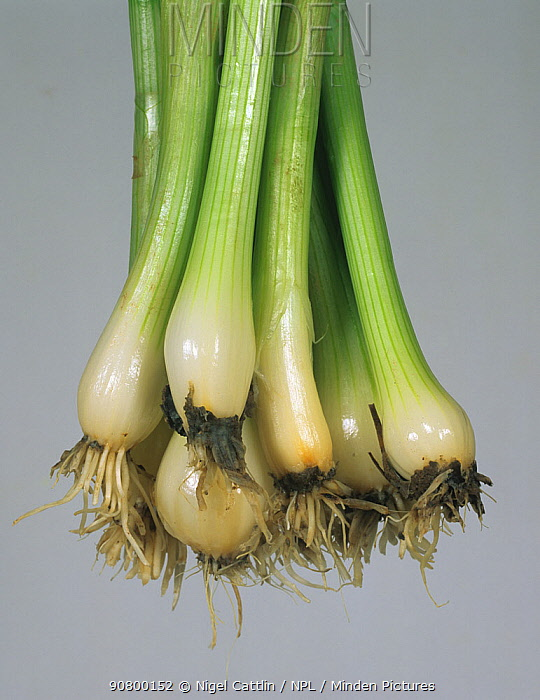 White Rot (Sclerotinia cepivorum) residual mould on washed Onions (Allium).