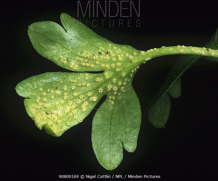 Aecidia of a Rust (Puccinia argentata) on Moschatel leaf (Adoxa moscatellina). England, UK.