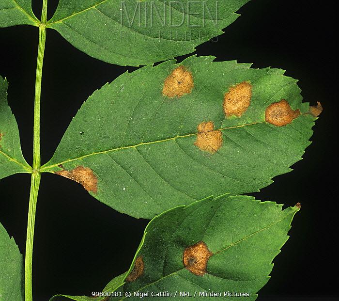 Ash Leaf Spot (Mycosphaerella fraxinicola) on an Ash leaf (Fraxinus exselsior). England, UK.
