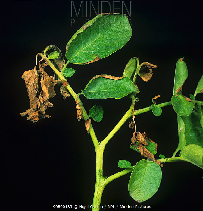 Verticillium Wilt (Verticillium albo-atrum) showing the typical one-sided damage to a Potato leaf (Solanum tuberosum). Scotland, UK.