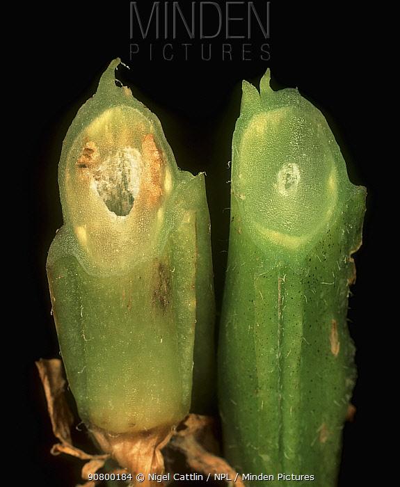 Wilt (Verticillium albo-atrum) affecting one Potato stem compared with a healthy plant stem (Solanum tuberosum).