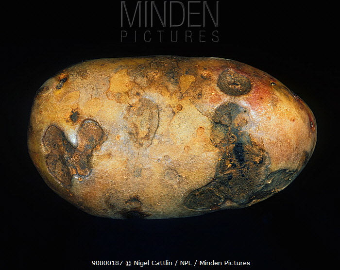 Gangrene (Phoma exigua var foveata) external symptoms on a diseased Potato tuber (Solanum tuberosum).