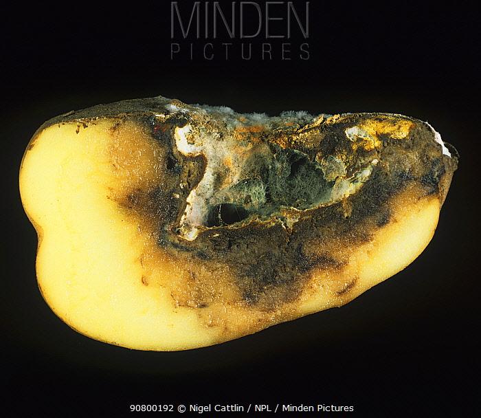 Dry Rot (Fusarium sp) mycelium and cavity in a rotted Potato tuber (Solanum tuberosum).
