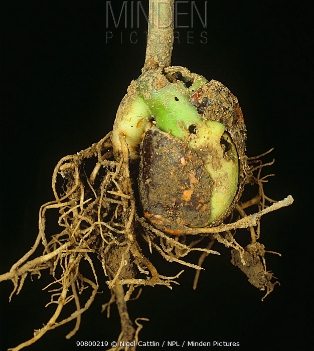 Garden Slug (Arion hortensis) damage to a germinated Runner Bean seed (Phaseolus coccineus). England, UK.