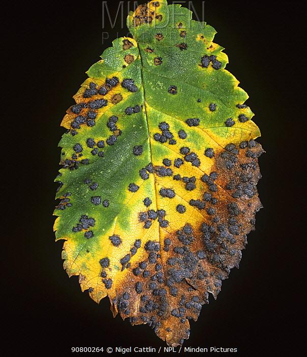 Tar Spot (Dothidella ulmi) lesions on an Elm leaf (Ulmus procera). England, UK.