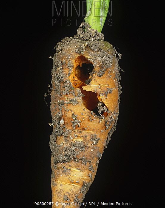 Spotted Snake Millepede (Blaniulus guttulatus) damage to a Carrot tap root (Daucus carota). England, UK.