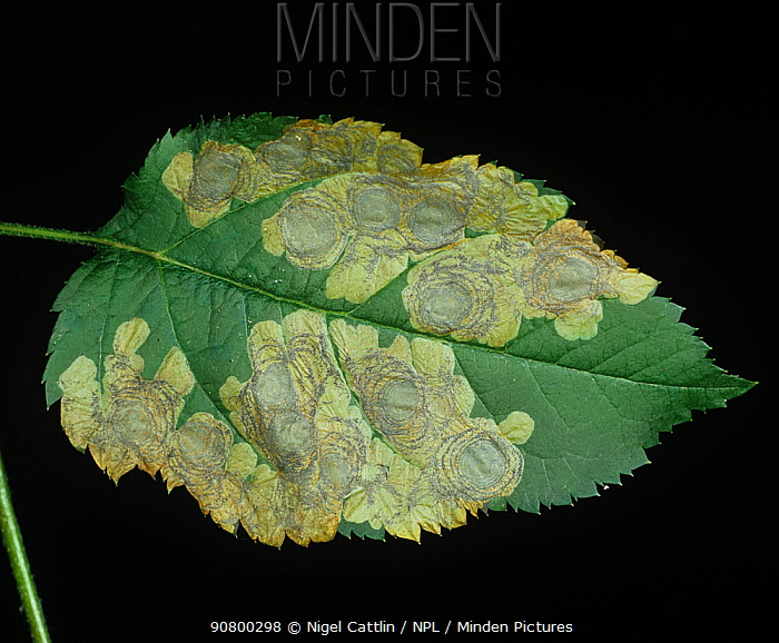 Circular mines of the Apple Leaf Miner (Leucoptera scitella) in an Apple leaf (Malus communis).