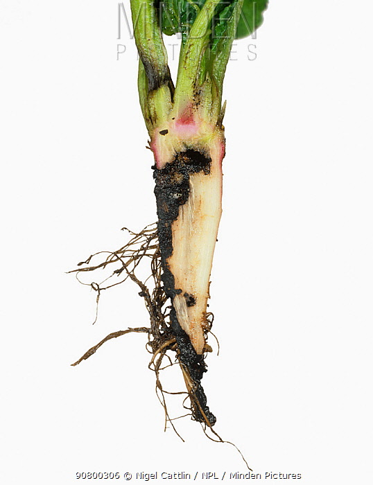 Wireworm damage (Agriotes sp) to a young Sugar Beet tap root (Beta vulgaris).