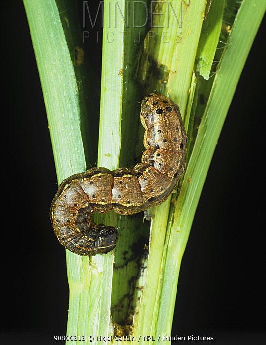 Fall Armyworm (Spodoptera frugiperda) caterpillar eating Corn / Maize (Zea mays). Eastern USA.