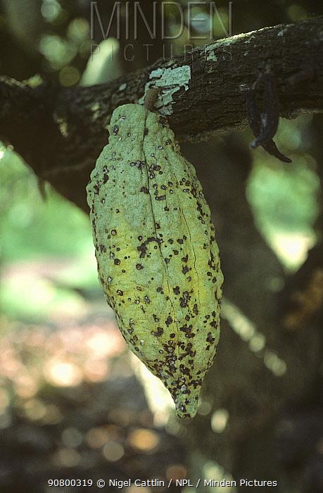 Cocoa Capsid (Helopeltis) damage to a Cocoa pod (Theobroma cacao). Malaysia.