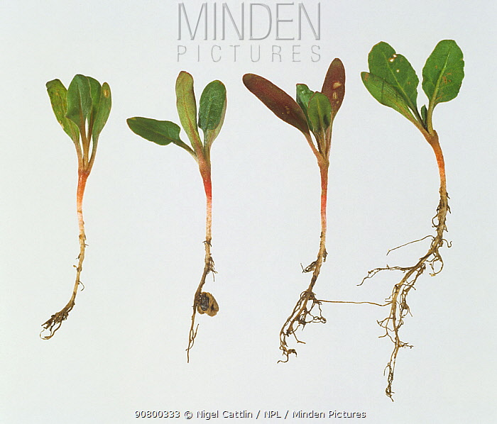 Symphylid (Scutigerella immaculata) damage to seedling Sugar Beet (Beta sp) tap roots compared to healthy plants. England, UK.