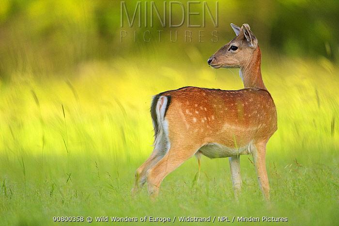 Fallow deer (Dama dama) male, Studen Kladenets reserve, Eastern Rhodope Mountains, Bulgaria, May 2013.