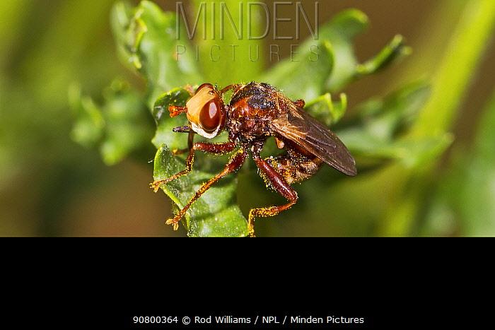 Thick-headed / Conopid fly (Sicus ferrugineus) covered in ragwort pollen, Lewisham, London, UK, July.