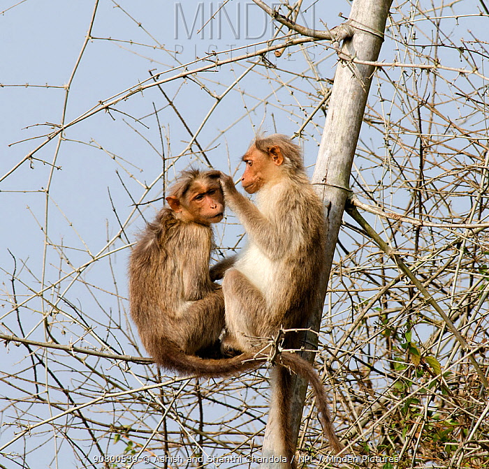 Bonnet macacque (Macaca radiata), two in tree, one grooming the other. Bandipur National Park, Nilgiri Biosphere Reserve, Karnataka, India.