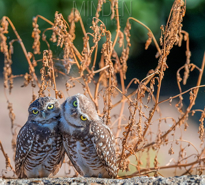 Burrowing owl (Athene cunicularia), two huddled together. Marana, Pima County, Arizona, USA.