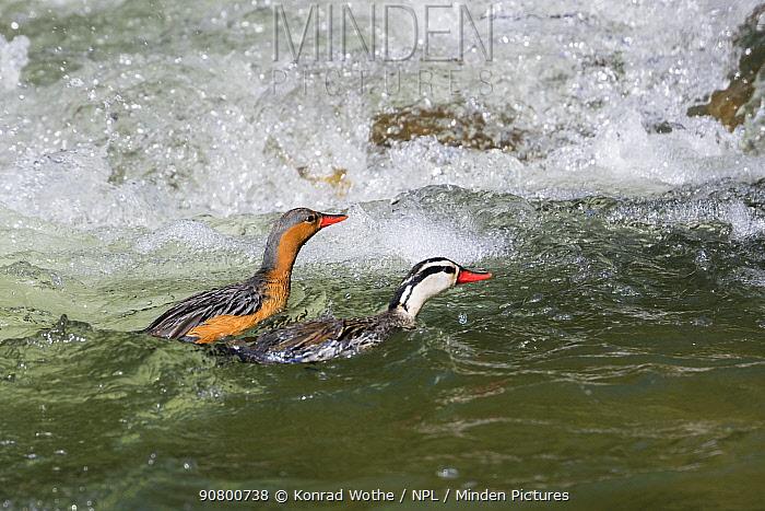 Torrent duck (Merganetta armata) male and female, Ecuador.