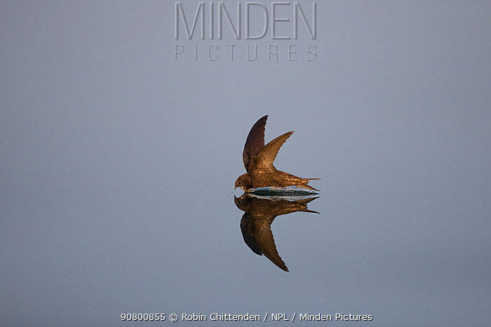 Common swift (Apus apus) hunting over water, Norfolk, England, UK, July.