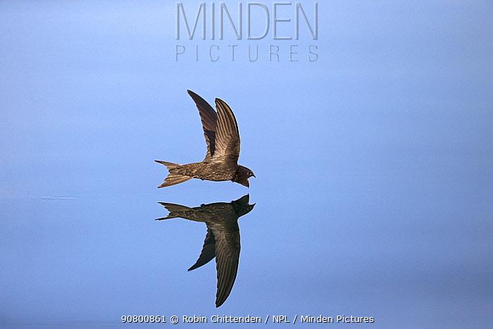 Common Swift (Apus apus) in flight reflected in water, Norfolk, England, UK. July.