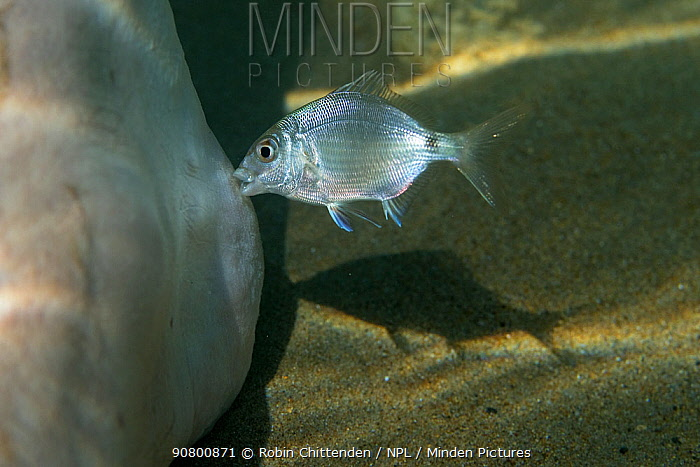 White seabream (Diplodus sargus) feeding on dead skin on foot, Zakynthos, Greece, August.