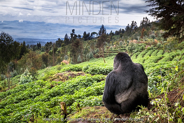 Mountain gorilla (Gorilla beringei beringei) silverback sitting on boundary wall between Volcanoes National Park and a Potato crop, looking into valley. Area to be restored to forest. Rwanda.