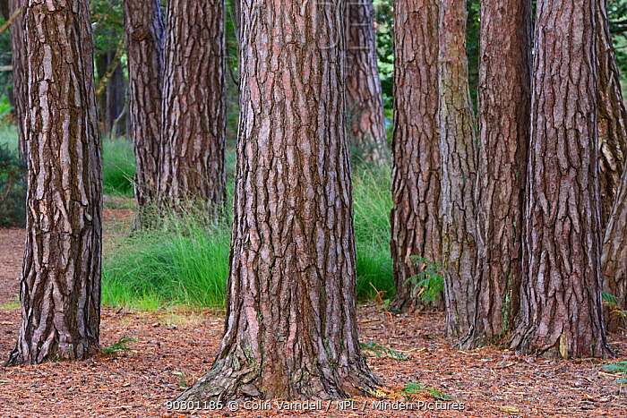 Scots pine tree (Pinus sylvestris) trunks. Arne, Dorset, UK September.