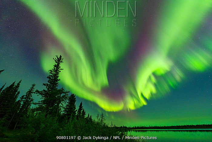 Aurora Borealis display above conifers and Polar Lake. Near Great Slave Lake, Northwest Territories, Canada. September 2018.