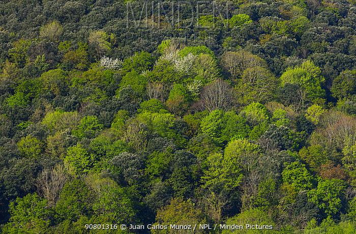 Holm oak (Quercus ilex) forest Encinar y Bosque Mixto, Liendo Valley, Cantabria, Spain, April 2018