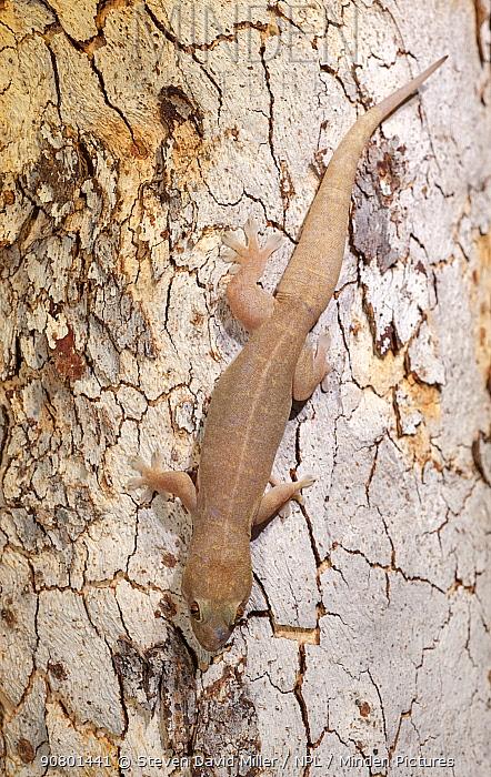 Top end dtella gecko (Gehyra australis) camouflaged against tree bark. Lake Argyle, near Kununurra, Western Australia.
