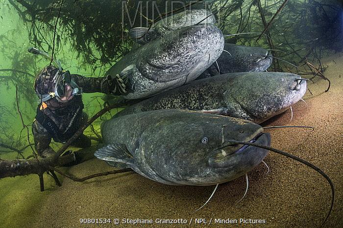 Wels catfish (Silurus glanis), five on riverbed, diver observing. River Loire, France. October.