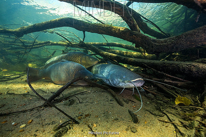 Wels catfish (Silurus glanis) and Common carp (Cyprinus carpio), three on riverbed amongst branches, River Loire, France. October.