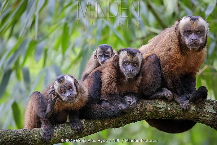 Brown / Tufted Capuchin (Cebus apella) family group in cloud forest, Manu Biosphere Reserve, Peru.