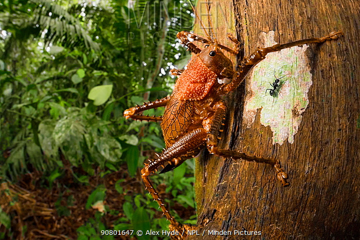 Spiny lobster katydid (Panoploscelis sp.) on tree trunk. Manu Biosphere Reserve, Amazonia, Peru. November.