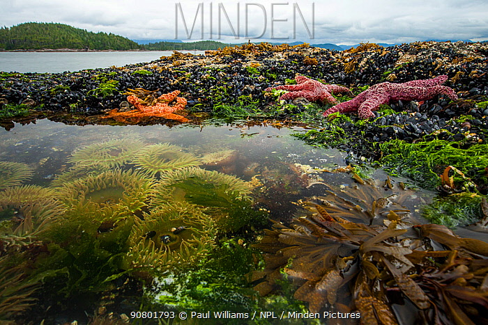 Ochre starfish (Pisaster ochraceus) Goose barnacles (Pollicipes polymerus) California mussel (Mytilus californianus) and Giant green anenome (Anthopleura xanthogrammica) in rock pool, Vancouver Island, British Columbia, Canada, July.