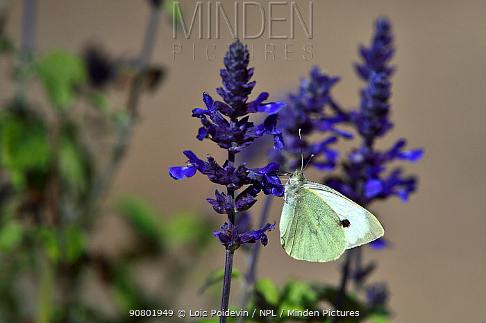 Large white butterfly (Pieris brassicae) on flowers,  Vendee, France, October.