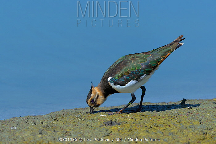 Northern lapwing (Vanellus vanellus) foraging,