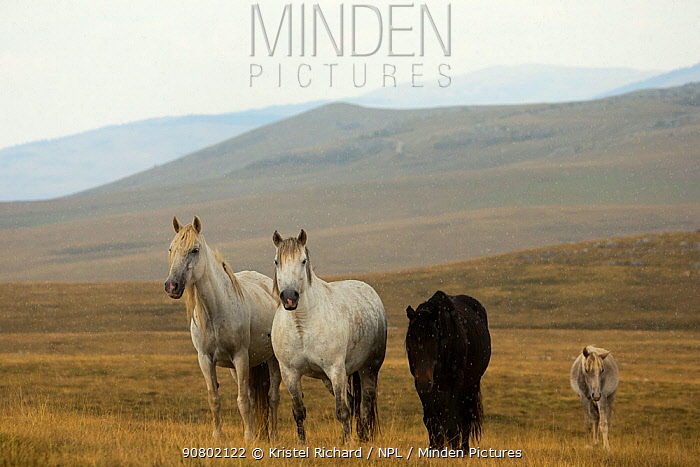 A herd of wild horses (Bosnia and Herzegovina) standing alert in the Cincar mountains, near Livno, Bosnia and Herzegovina.