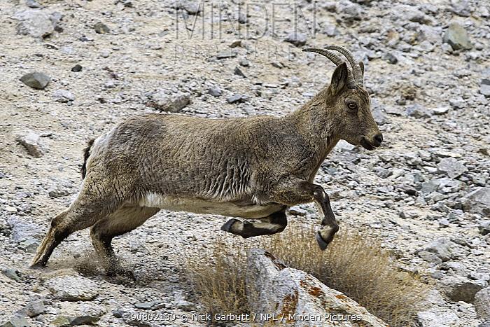 Himalayan ibex (Capra sibirica) female running. Himalayas, Ladakh, northern India.