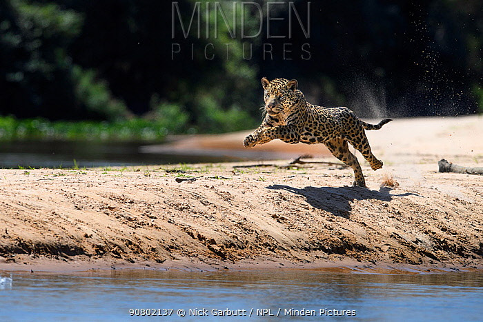 Jaguar (Panthera onca) female running along a sand spit chasing after a caiman. Northern Pantanal Cuiaba River, Mato Grosso, Brazil.