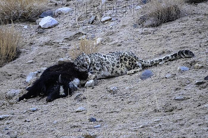 Snow leopard (Panthera uncia) female feeding on its kill - a domestic yak calf (Bos grunniens). Ladakh Range, Western Himalayas, Ladakh, India.